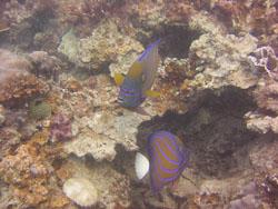 BD-050430-Perhentian-1346-Pomacanthus-annularis-(Bloch.-1787)-[Bluering-angelfish.-Cirkelkejsarfisk].jpg